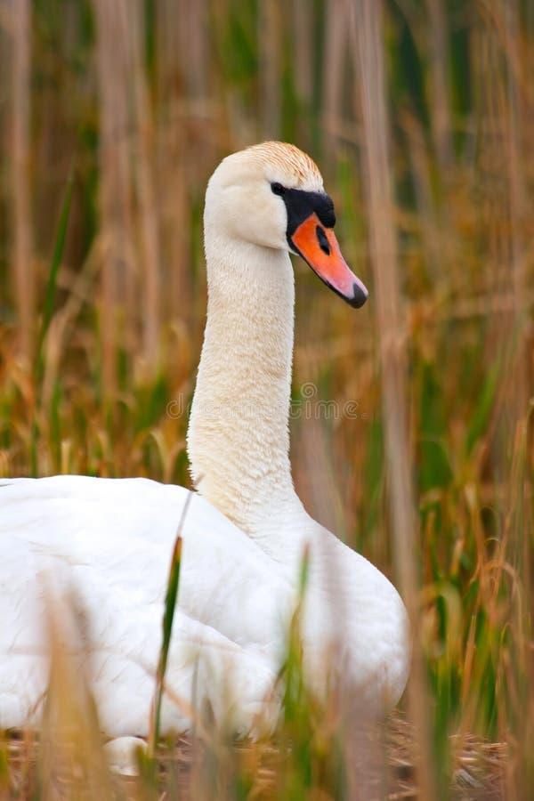 лебедь protrait гнездя мати сидя одичалый стоковые изображения