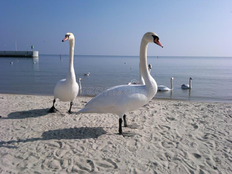Лебеди и Baltic стоковая фотография