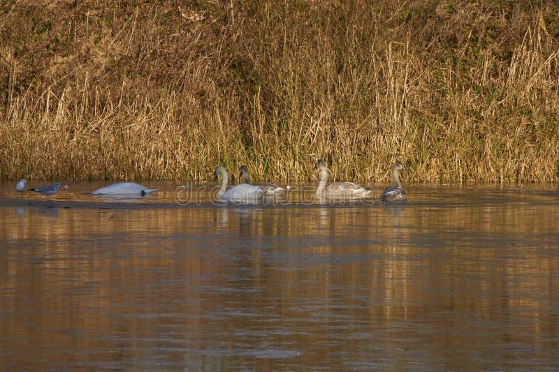 Лебеди и Signets стоковые фото