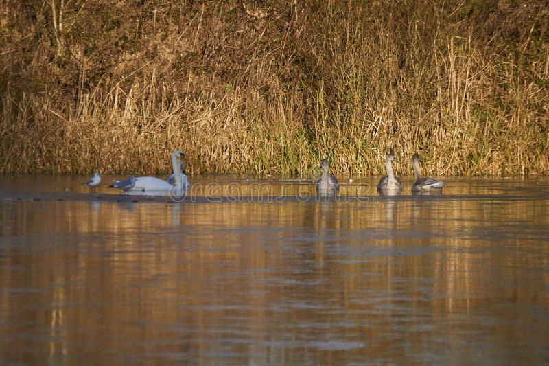 Лебеди и Signets стоковое изображение