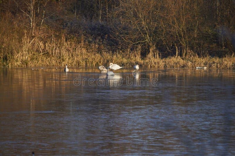 Лебеди и Signets стоковое фото