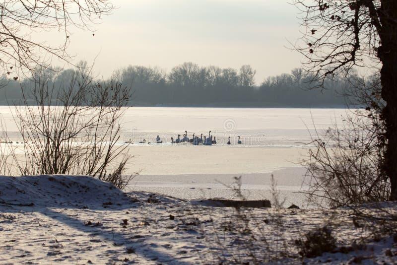 Лебеди на зимовке стоковые изображения