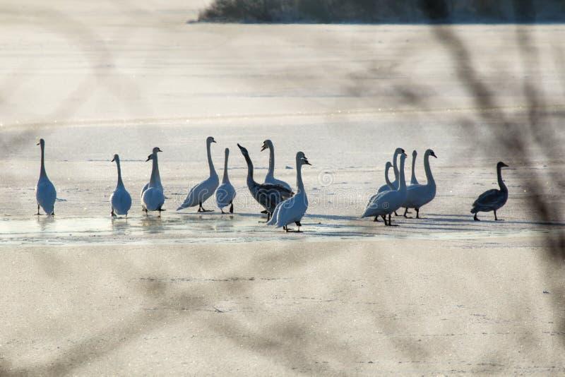 Лебеди на зимовке стоковые фотографии rf