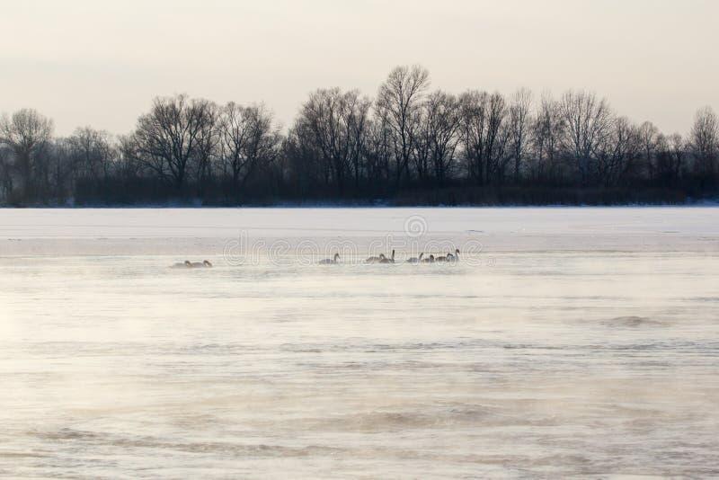 Лебеди на зимовке стоковое фото