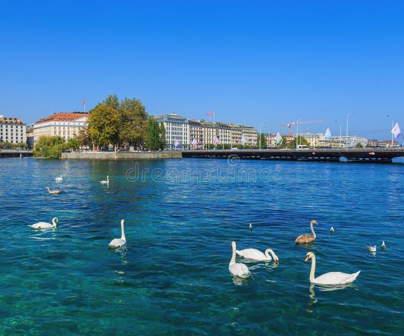 Лебеди на Роне в Женеве, Швейцарии стоковые изображения rf