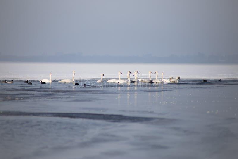 Лебеди на частично замороженном озере в зиме стоковые фотографии rf