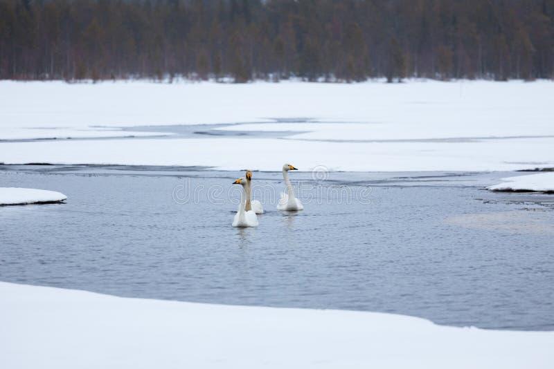 Лебеди на частично замороженном озере стоковые фотографии rf