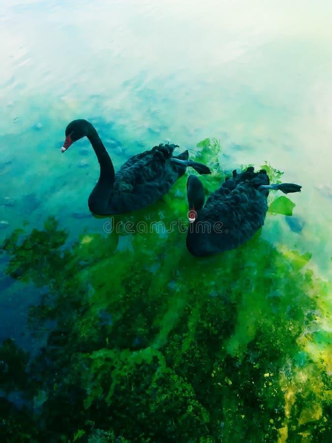 Лебеди, озеро стоковые фотографии rf