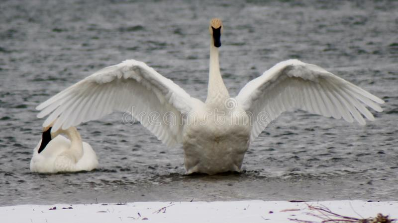 Лебеди трубача на Реке Йеллоустоун стоковое фото rf