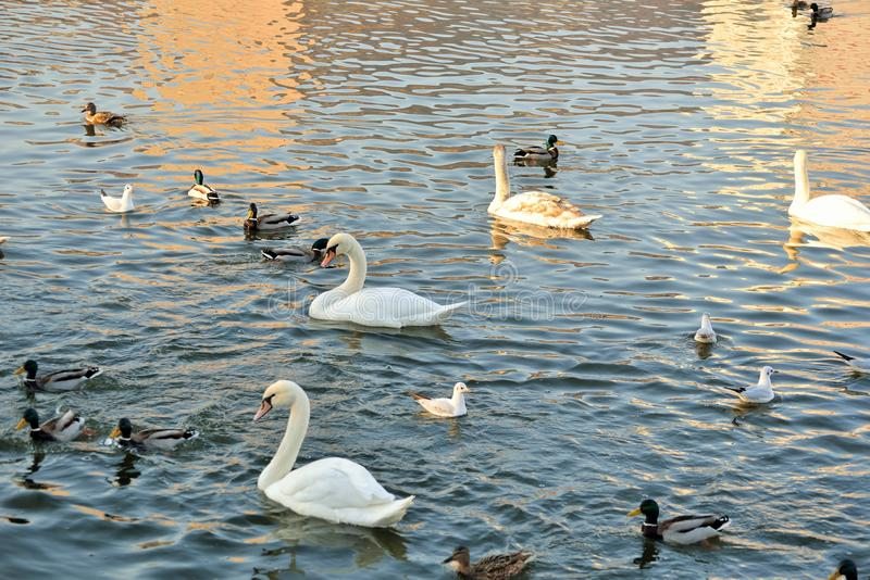 Лебеди, утки и чайки на реке стоковое фото rf