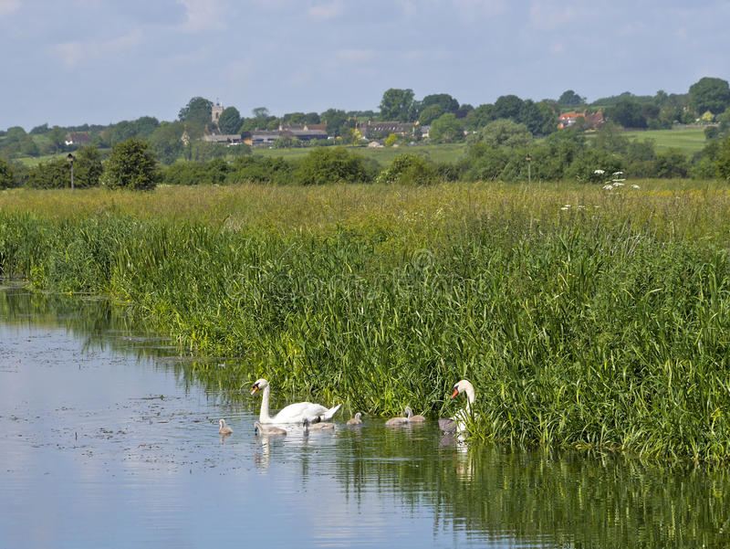 Лебеди Signets младенца мужские женские на реке стоковые изображения