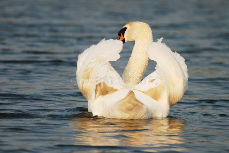 Лебедь безмятежности ослабляя стоковое фото
