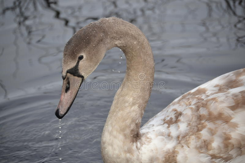 Лебедь Брайна в пруде стоковая фотография