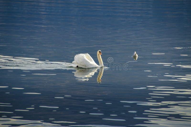 Лебедь в воде стоковые изображения rf