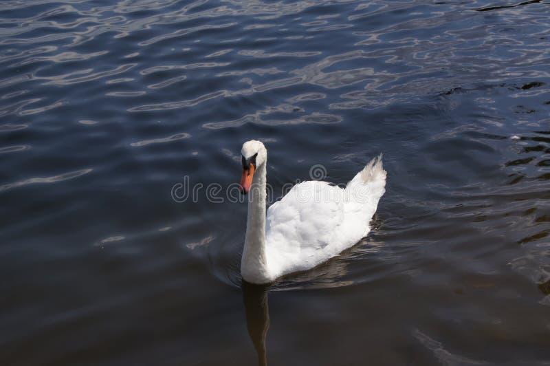 Лебедь в его естественном environement: озеро стоковое изображение rf