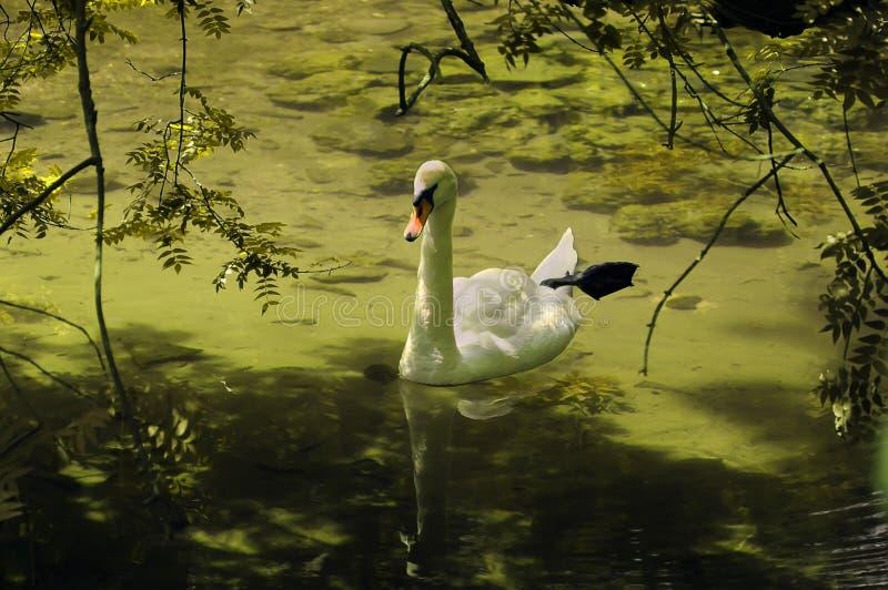 Лебедь в зеленом пруде стоковое фото rf