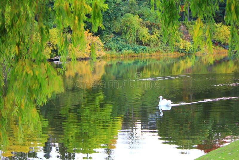 Лебедь в рае стоковое фото rf
