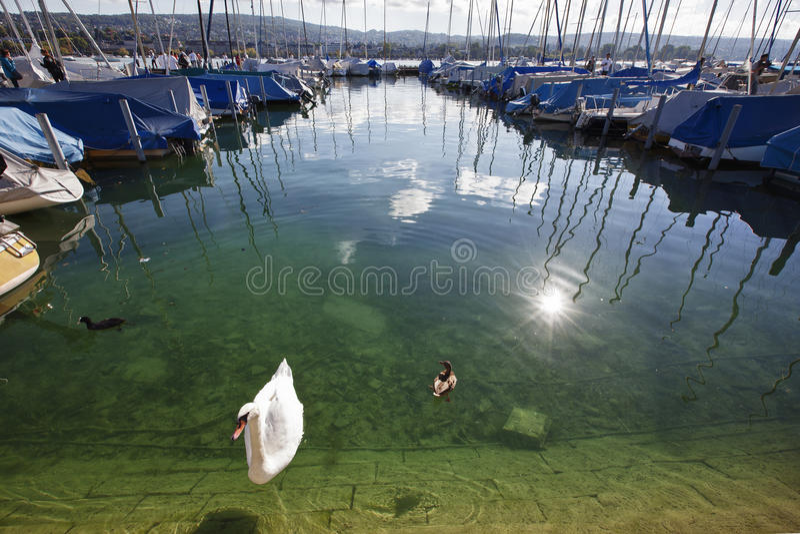 Лебедь в реке стоковая фотография
