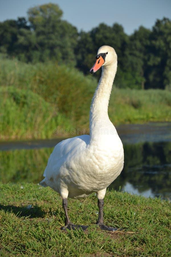 Лебедь в Сербии стоковые изображения rf
