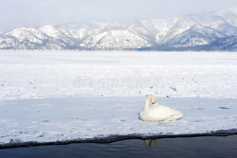 Лебедь в kussharo озера стоковое фото rf