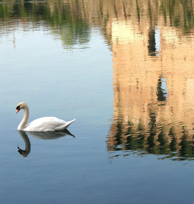 Лебедь и отражение башни стоковое изображение rf