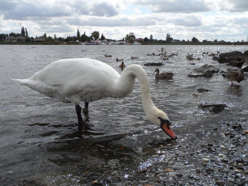 Лебедь и река стоковое изображение