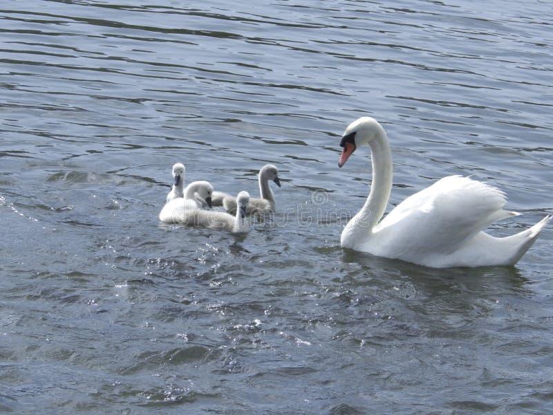 Лебедь матери стоковая фотография