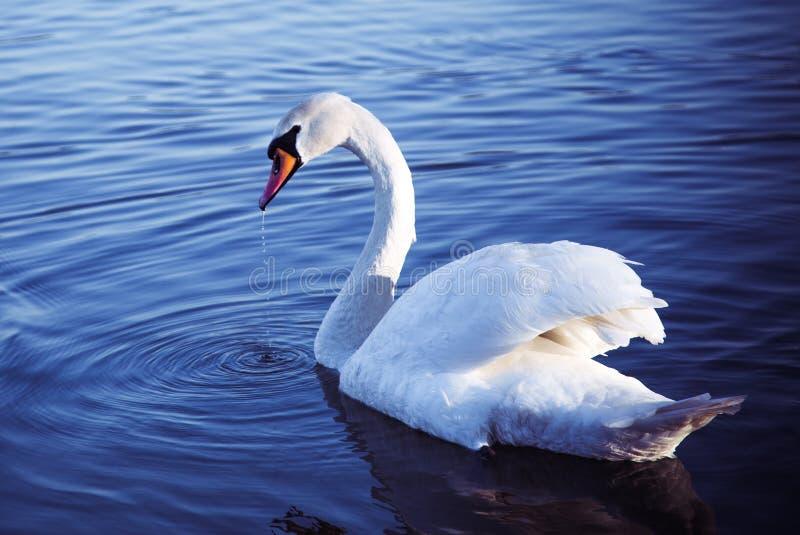 Лебедь на голубом озере стоковая фотография rf