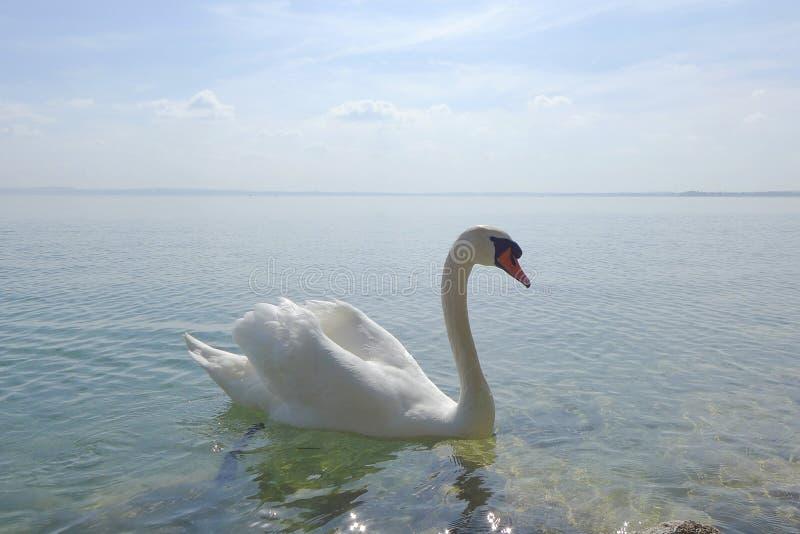 Лебедь на озере Garda стоковое изображение rf