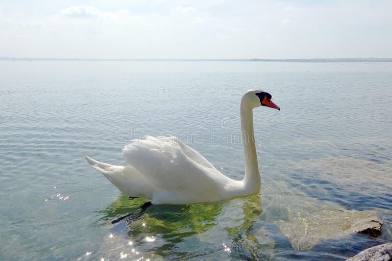 Лебедь на озере Garda стоковое фото rf