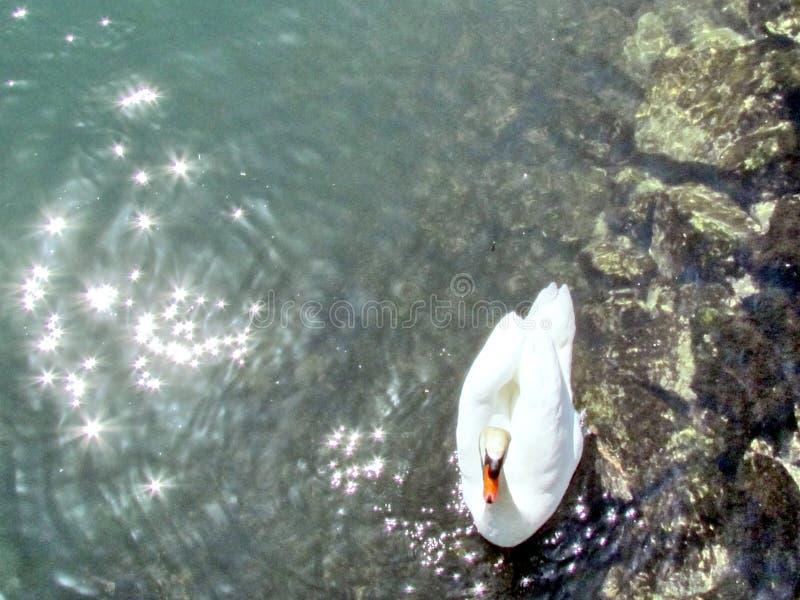 Лебедь 2013 озера Торонто стоковая фотография