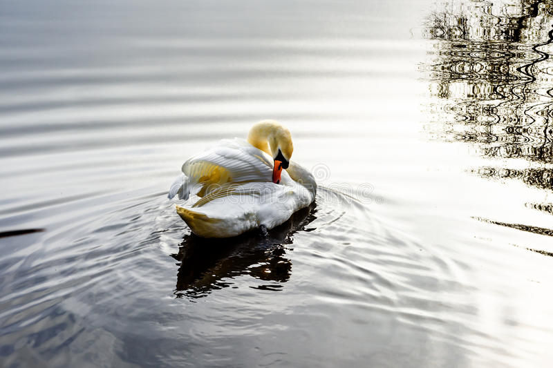 Лебедь очищает вверх стоковое фото rf