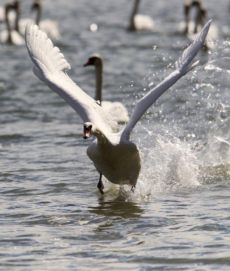 Лебедь принимает от воды стоковые фотографии rf