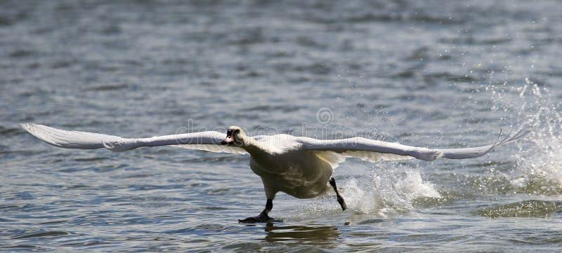 Лебедь принимает от воды стоковое фото rf