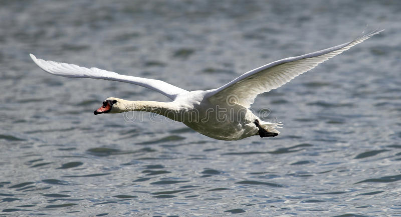 Лебедь принимает от воды стоковое фото