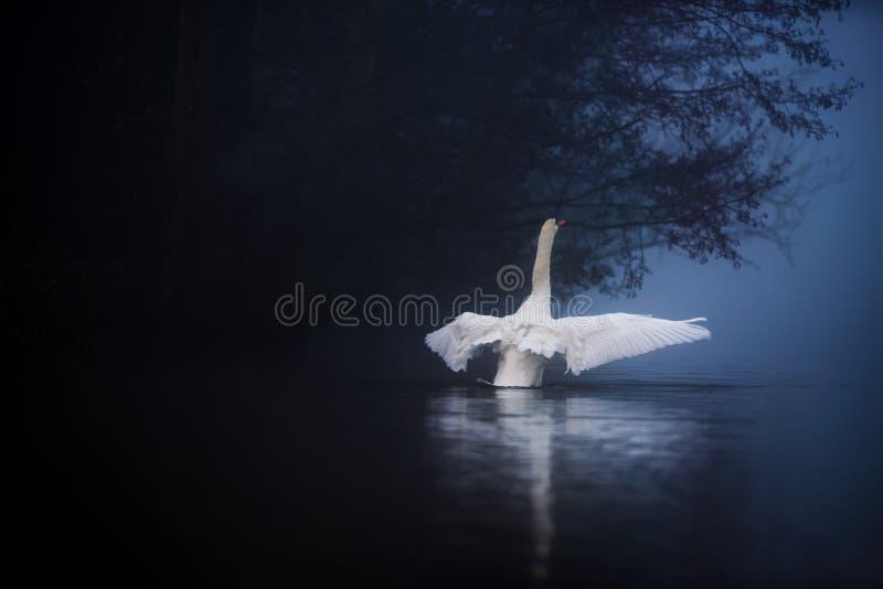 Лебедь протягивает крыла на туманном озере стоковая фотография rf