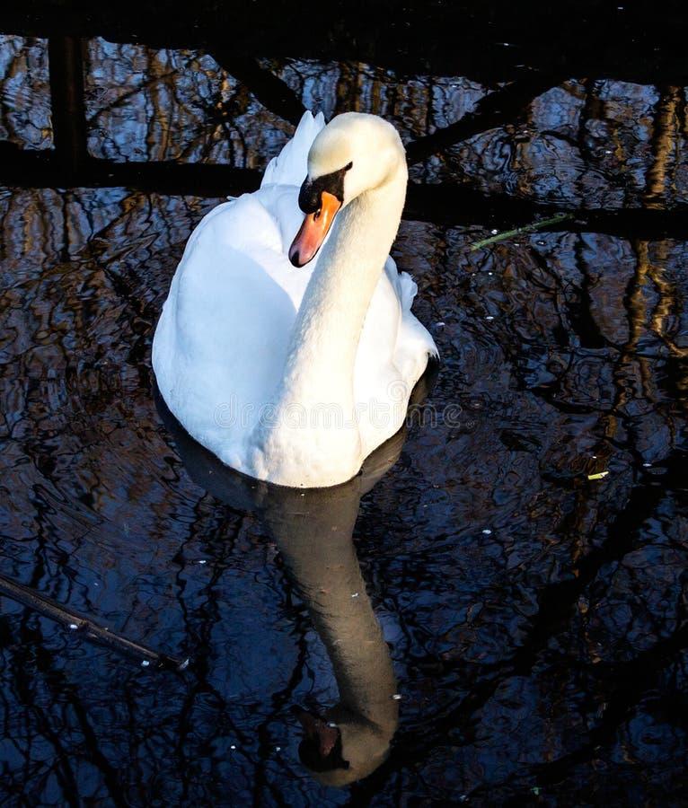 Лебедь самодовольный. стоковые изображения rf