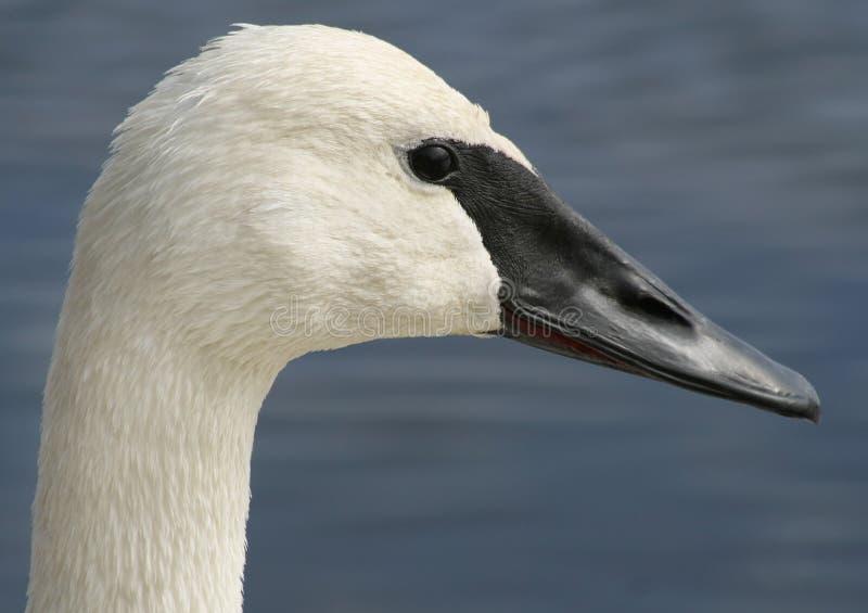 Лебедь трубача стоковые изображения rf