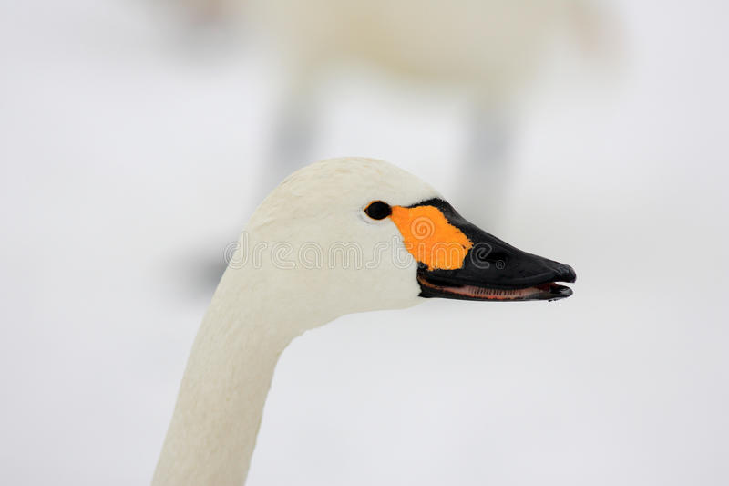 Download Лебедь тундры стоковое фото. изображение насчитывающей backhoe - 41651546