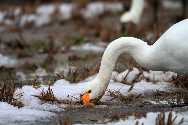 Download Лебедь тундры стоковое изображение. изображение насчитывающей wildlife - 41651823