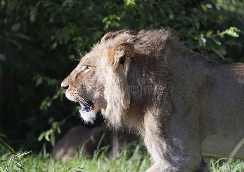 Левая сторона величественного льва идя с солнцем утра светя на его стороне стоковая фотография