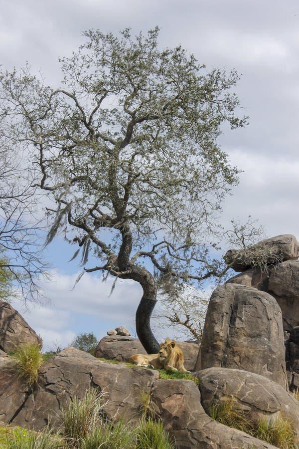 Лев в джунглях Африки стоковая фотография rf