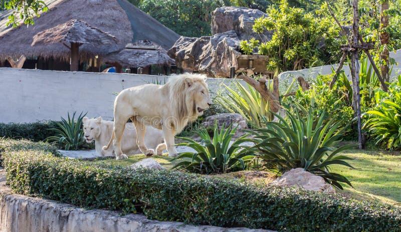 Лев в зоопарке стоковые фотографии rf