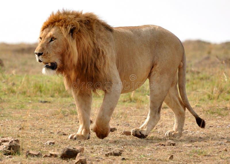 Лев в парке стоковое фото rf