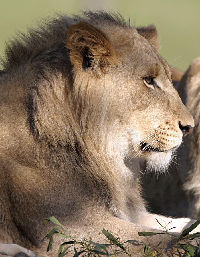 Лев в профиле стоковая фотография rf