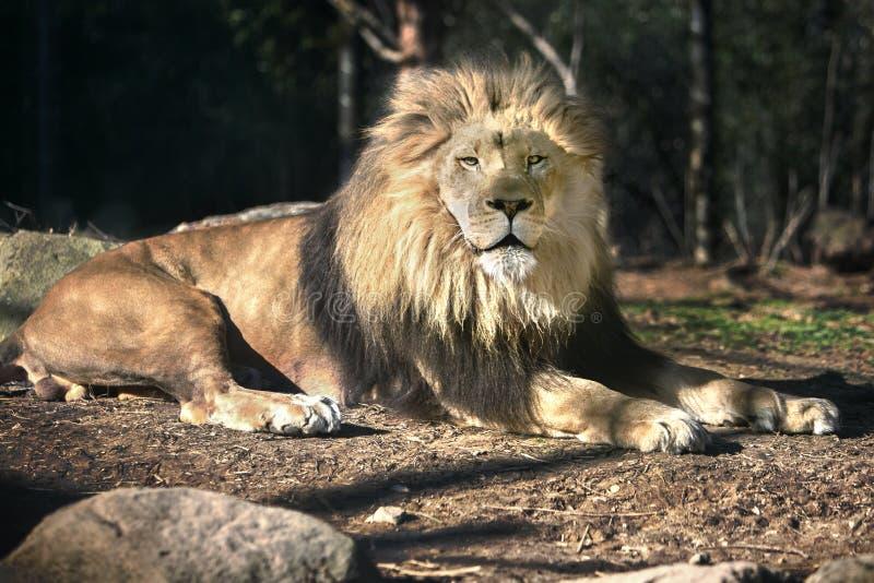 Лев в Солнце - солнечный день - загорать стоковые изображения