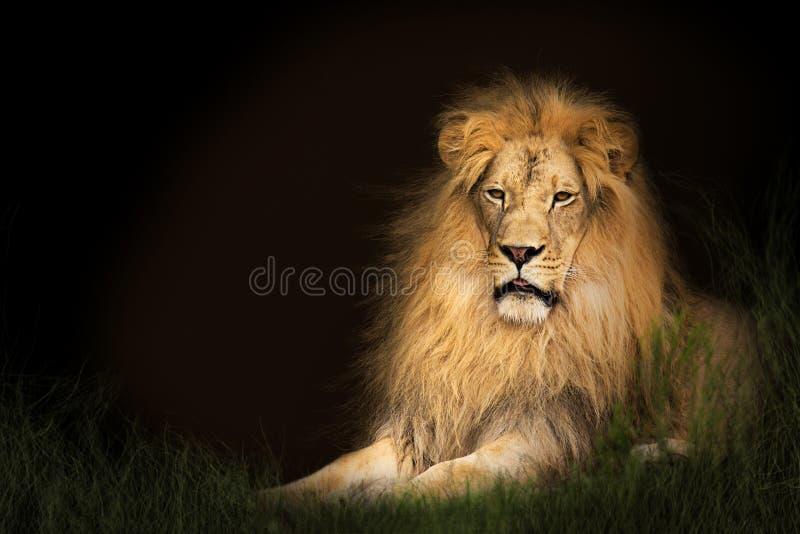 Лев в траве с космосом экземпляра стоковое изображение