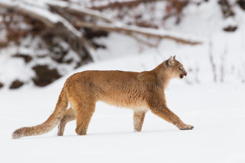 Лев горы делая прогулку в wintertime стоковые фото