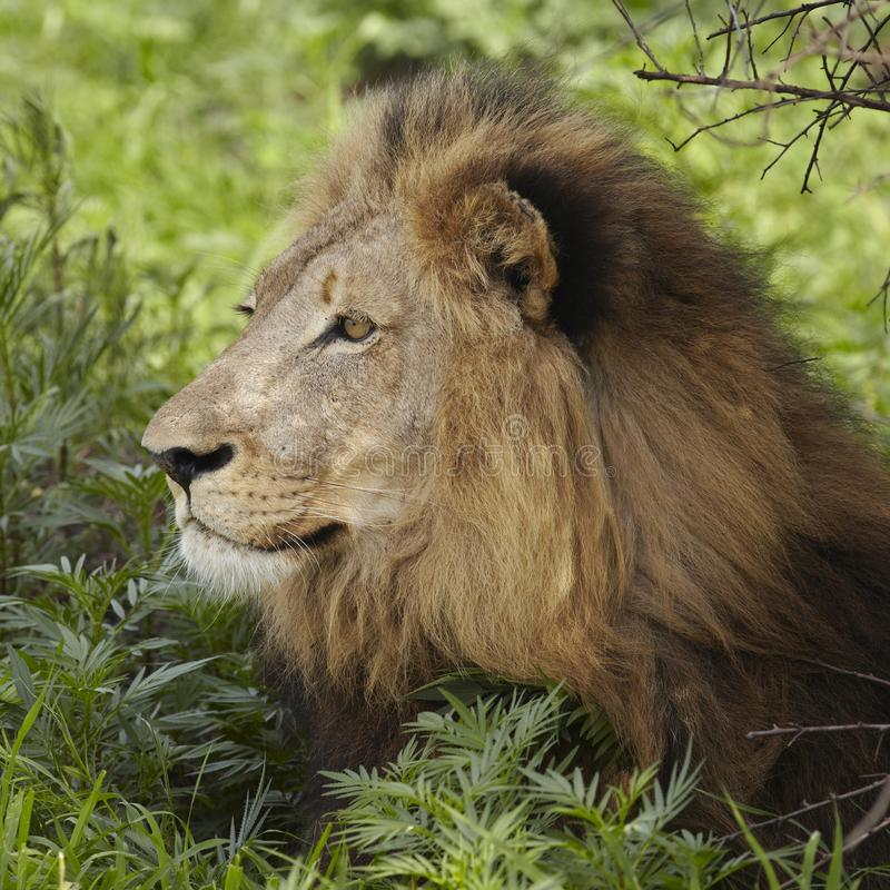 Лев лежа в тени дерева