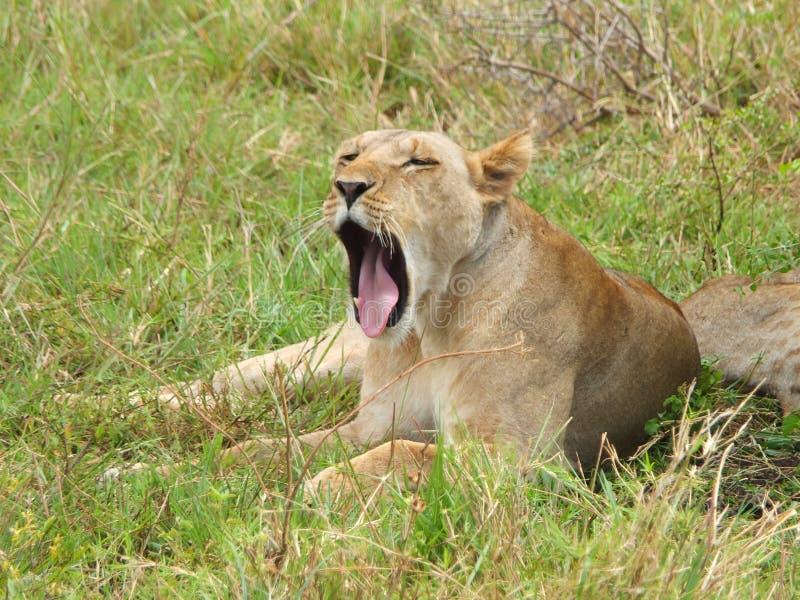 Лев зевая стоковое фото rf